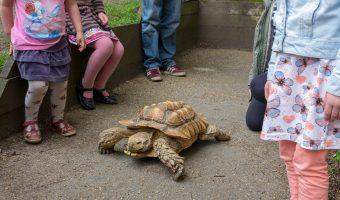 Photograph of an African spurred tortoise at Pets' Corner, Astley Park, Lancashire.