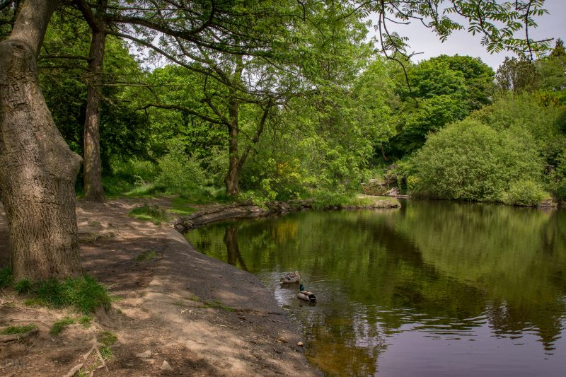 Photo of ducks on the lake at the Japanese Garden at Rivington Terraced Gardens.